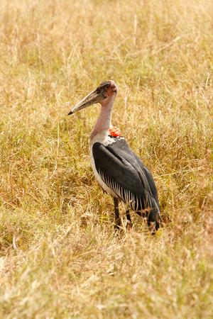 african stork: Marabou stork Leptoptilos crumenifer in grasslands of African savanna. Wildlife observation and conservation, tourist safari, animals in the wild concept.
