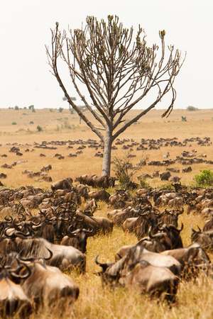 conservation grazing: Herd of wildebeest grazing together on grasslands of African savanna, seasonally migrating for food. Wildlife observation and conservation, tourist safari, animals in the wild concept.