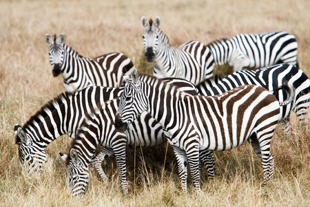 conservation grazing: Herd of plains zebras grazing together on grasslands of African savanna, seasonally migrating for food. Wildlife observation and conservation, tourist safari, animal migration concept. Stock Photo