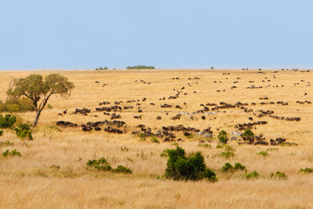 safari animals: Wide grassland landscape of African savanna with wildebeest and zebra grazing, seasonally migrating for food. Wildlife observation and conservation, tourist safari, animals in the wild concept. Stock Photo