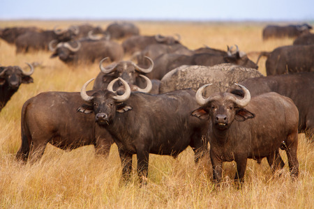 conservation grazing: African Cape buffaloes Syncerus caffer in a herd, grazing on dry grass in African savanna. Wildlife observation and conservation, tourist safari, animals in the wild concept. Stock Photo