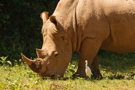 safari animals: Threatened white, square-lipped rhinoceros Ceratotherium simum, grazing on fresh grass. Wildlife observation and conservation, tourist safari, animals in the wild concept. Stock Photo