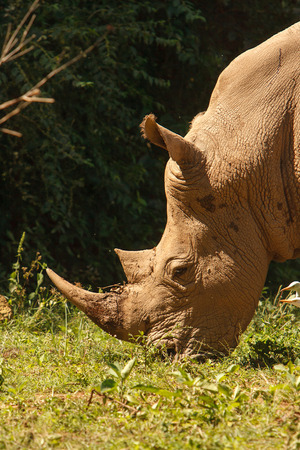 conservation grazing: Threatened white, square-lipped rhinoceros Ceratotherium simum, grazing on fresh grass. Wildlife observation and conservation, tourist safari, animals in the wild concept. Stock Photo