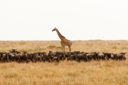 safari animals: Giraffe Giraffa camelopardalis and a herd of wildebeest in dry African savanna. Wildlife observation and conservation, tourist safari, animals in the wild concept.