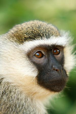 animales de la selva: Mono de Vervet retrato Chlorocebus pygerythrus en la selva africana. Observación de vida silvestre y la conservación, safari turístico, animales en el concepto de salvaje. Foto de archivo