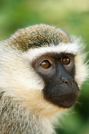 jungle animals: Vervet monkey Chlorocebus pygerythrus portrait in African jungle. Wildlife observation and conservation, tourist safari, animals in the wild concept. Stock Photo