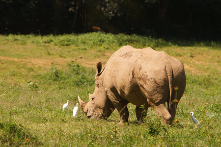 threatened: Threatened white, square-lipped rhinoceros Ceratotherium simum, grazing on fresh grass. Wildlife observation and conservation, tourist safari, animals in the wild concept. Stock Photo