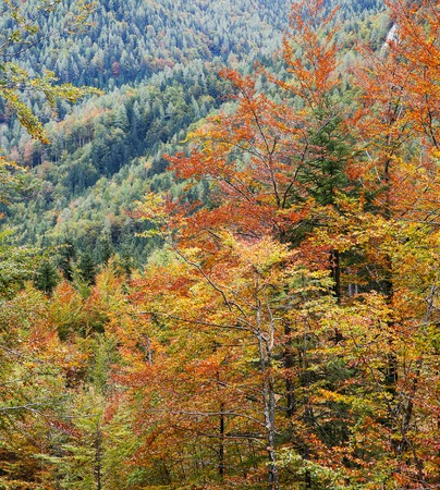 temperate: Deciduous forest in autumn colors. Seasonal change, temperate forest concept.
