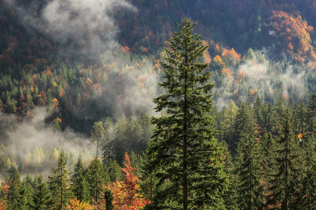 penetrating: Coniferous and deciduous mountain forest in autumn colors, with morning foggy mist rising, sunrays penetrating through it. Seasons changing, unique sunlight concept, textured background.