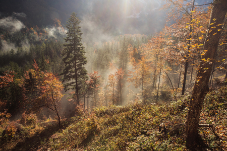 changing colors: Coniferous and deciduous mountain forest in autumn colors, with morning foggy mist rising, sunrays penetrating through it. Seasons changing, unique sunlight concept, textured background.