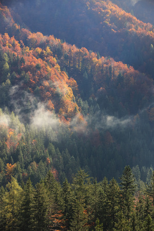 change: Coniferous and deciduous mountain forest in autumn colors, with morning foggy mist rising, sunrays penetrating through it. Seasons changing, unique sunlight concept, textured background.