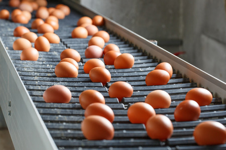 sorting: Fresh and raw chicken eggs on a conveyor belt, being moved to the packing house. Consumerism, egg production, automated business, organic farming concept.