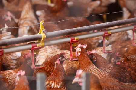 food industry: Farm chicken in a barn, drinking from an automatic waterer. Animal abuse, living in captivity, food production and industry concept.