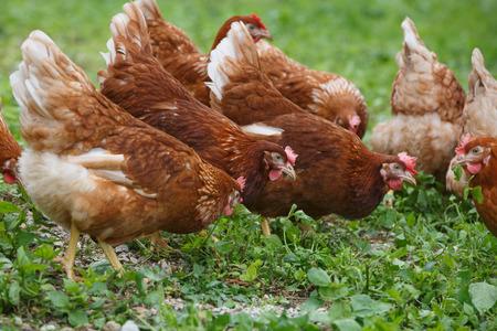 gallina con huevos: Gallinas camperas (pollo) en una granja orgánica, pastando libremente en un prado. La agricultura ecológica, derechos de los animales, de nuevo a concepto de la naturaleza.
