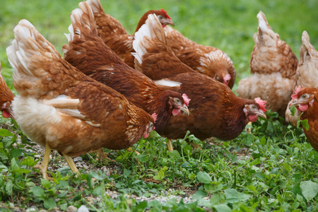 Free-range hens (chicken) on an organic farm, freely grazing on a meadow. Organic farming, animal rights, back to nature concept.