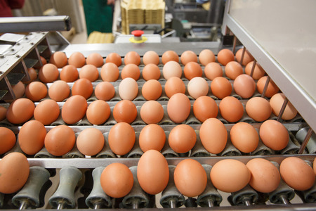 Automated sorting of raw and fresh chicken eggs in a packing facility. Agribusiness, food production, organic farming, customer support and trade concept. Archivio Fotografico