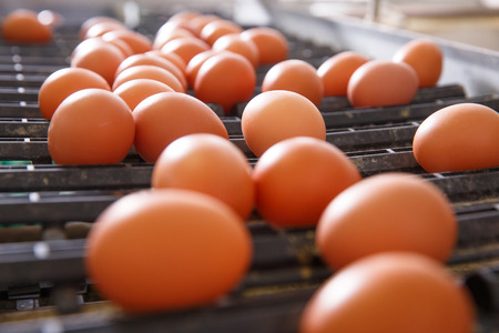 Fresh and raw chicken eggs on a conveyor belt, being moved to the packing house. Consumerism, egg production, automated business, organic farming concept.