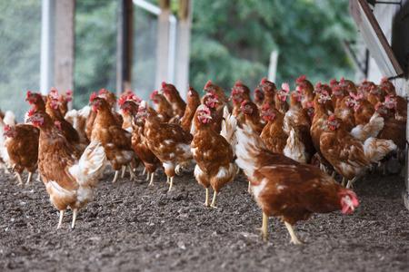 granja avicola: Grupo de pollo de corral pastando libremente fuera de la granja orgánica. La agricultura ecológica, derechos de los animales, de nuevo a concepto de la naturaleza.