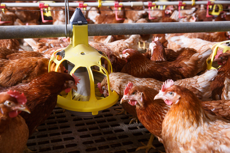 Farm chicken in a barn, eating from an automatic feeder. Animal abuse, living in captivity, food production and industry concept.