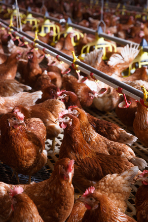 Farm chicken in a barn, drinking and eating from an automatic feeder and waterer, laying eggs. Animal abuse, living in captivity, food production and industry concept.