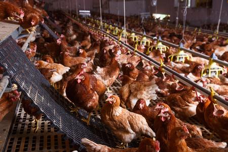 Farm kip in een schuur, drinken en eten uit een automatische feeder en waterer, het leggen van eieren.