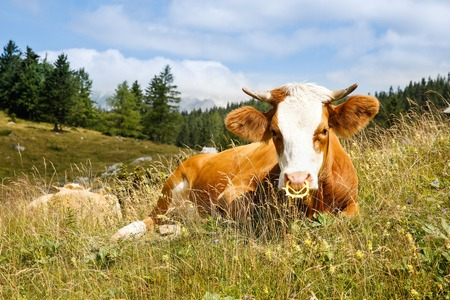 livestock: Freely grazing domestic and healthy cow on an idyllic sunny summer mountain pasture.