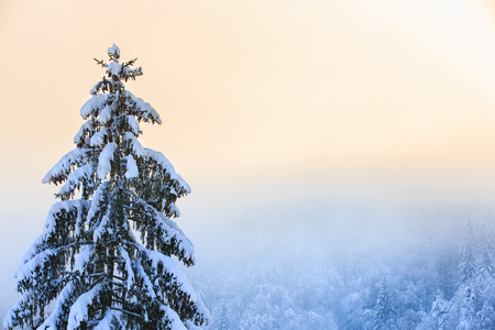 snow tree: Winter scenery with snow covered spruce tree in the foreground and coniferous forest in the background.