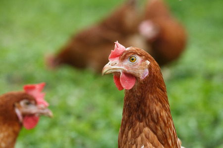 freely: Free-range hens (chicken) on an organic farm, freely grazing on a meadow.