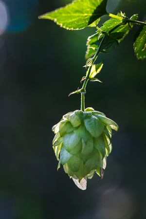 common hop: Close-up of a backlit common hop cone, ripe for picking and used as raw material for beer production (Humulus lupulus). Stock Photo