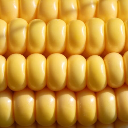 corn rows: Closeup of ripe, yellow corn kernels, set in neat rows. Textured background.