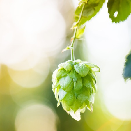 common hop: Close-up of common hop cone in soft light, ripe for picking and used as raw material for beer production (Humulus lupulus).
