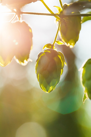 common hop: Close-up of a sunlit common hop cones, ripe for picking and used as raw material for beer production (Humulus lupulus). Stock Photo