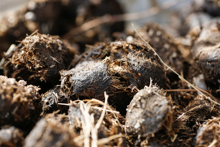 manure: Pile of fresh horse manure. Agriculture, organic gardening, green manure and fertilization concept.
