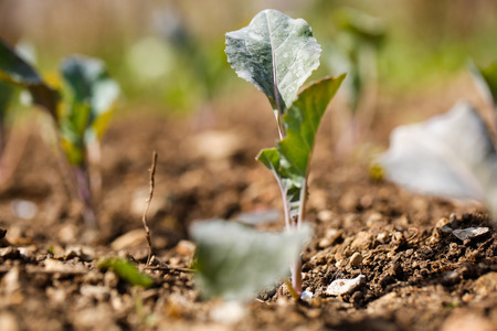 weeds: Cauliflower (Brassica oleracea) plants in freshly plowed and fertilized soil. Self-supply, organic food production, home gardening concept.