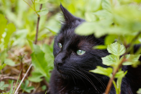 animal cruelty: Black domestic cat in nature, enjoying freedom, on a lookout, prowling for mice. Wild pet, superstition, animal freedom and rights, animal cruelty concept.