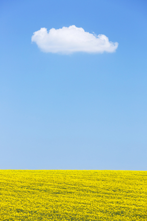 blue sky: Natural background of rapeseed field against blue sky with a white cloud. Textured horizon background, solitude, agriculture and pure nature concept. Copy space.