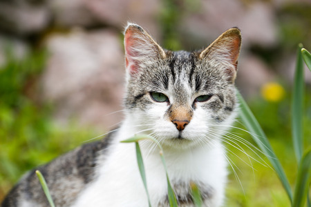 prowling: Domestic cat in nature, enjoying freedom, on a lookout, prowling for mice. Wild pet, animal freedom and rights, animal cruelty concept.
