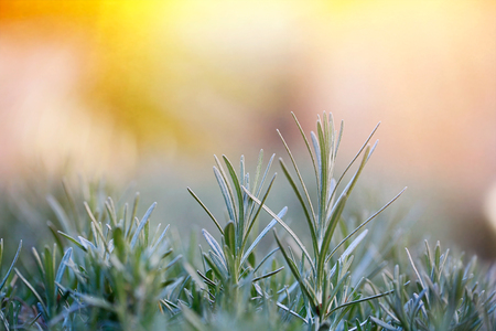 herbal background: Fresh and young rosemary branch against golden sunlight. Herbal background with copy space, essential oils and Mediterranean cuisine concept. Stock Photo