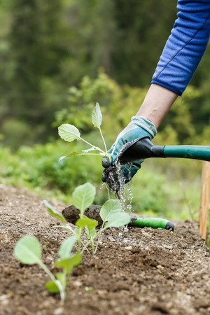 Gardener watering and fertilizing freshly planted broccoli seedlings in garden bed for growth boost. Organic gardening, healthy food, nutrition and diet, self-supply and housework concept.