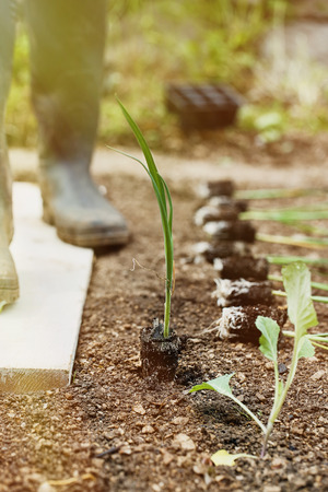 Leek seedlings lying on freshly ploughed garden bed, prepared for planting with gardener in the background in the morning sun. Organic gardening, healthy food, agriculture nutrition and diet concept. Stock Photo