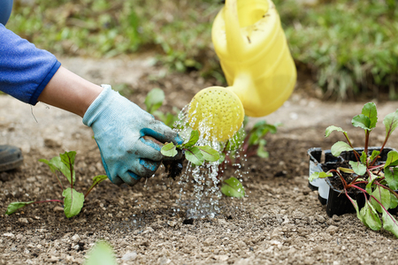 Gardener watering and fertilizing freshly planted beetroot seedlings in garden bed for growth boost. Organic gardening, healthy food, nutrition and diet, self-supply and housework concept.