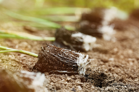 Closeup of leek seedlings lying on freshly ploughed garden bed, prepared for planting in the morning sun. Organic gardening, healthy food, agriculture nutrition and diet concept.