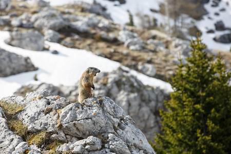 hibernate: Marmot on a rock in scenic mountain landscape on a lookout for predators.
