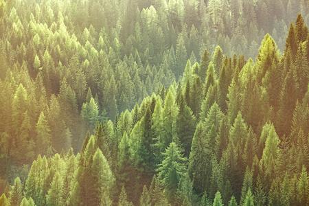 Gezonde groene bomen in een bos van oude sparren, sparren en dennen bomen in de natuur van een nationaal park, verlicht door felle gele zonlicht. Duurzame industrie, ecosysteem en gezonde omgeving concepten.