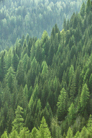 Healthy green trees in a forest of old spruce, fir and pine trees in wilderness of a national park. Stock Photo