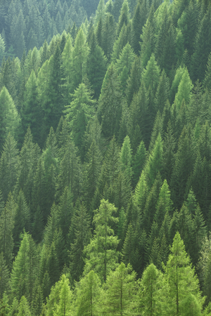 industry park: Healthy green trees in a forest of old spruce, fir and pine trees in wilderness of a national park. Sustainable industry, ecosystem and healthy environment concepts and background.