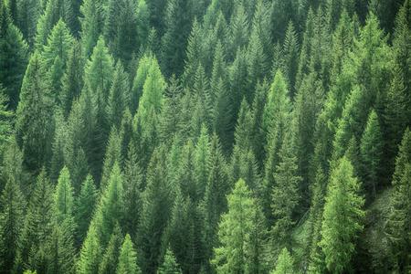 Gezonde groene bomen in een bos van oude sparren, sparren en dennen bomen in de wildernis van een nationaal park. Duurzame industrie, ecosysteem en gezonde omgeving concepten en achtergrond.