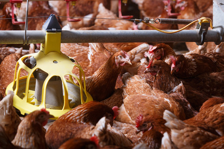 animal cruelty: Farm chicken in a barn, eating from an automatic feeder. Animal abuse, living in captivity, food production and industry concept.
