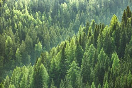 ecosistema: árboles verdes sanas en un bosque de viejos abetos, pinos y abetos en la naturaleza de un parque nacional. industria sostenible, los ecosistemas y los conceptos de ambientes saludables y el fondo. Foto de archivo