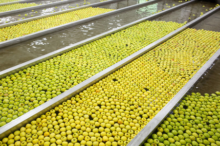 food processing: Ripe apples being processed and transported for size and color sorting and for packing in an industrial production facility. Healthy fruits, diet and food industry concept and textured background.